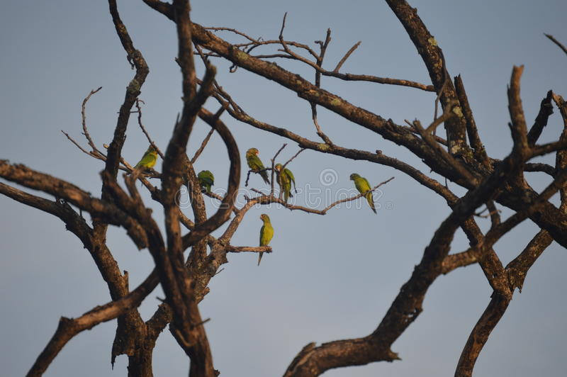 Aratinga canicularis stock photos