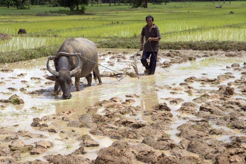 Aratro con il bufalo di acqua fotografie stock libere da diritti