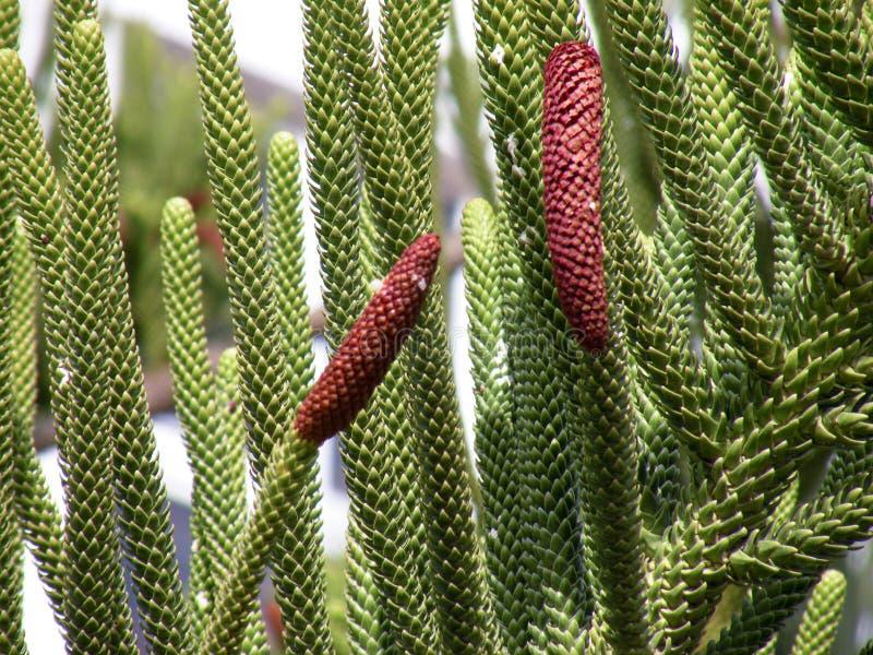 Araucária - o tipo de árvore conífera fotografia de stock