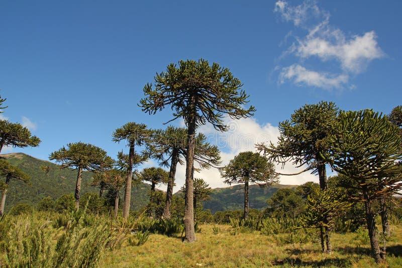 Araucária, símbolo do Chile imagens de stock royalty free
