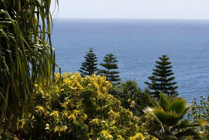 Araucana αροκαριών και άποψη φοινικών trachycarpus άνωθεν Πράσινες κωνοφόρες εγκαταστάσεις Δέντρο γρίφων πιθήκων Της Χιλής πεύκο στοκ φωτογραφία