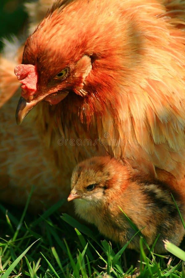 Free Araucana Hen And Chick Royalty Free Stock Image - 2623546
