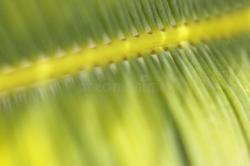 Araucari roślina zdjęcia stock