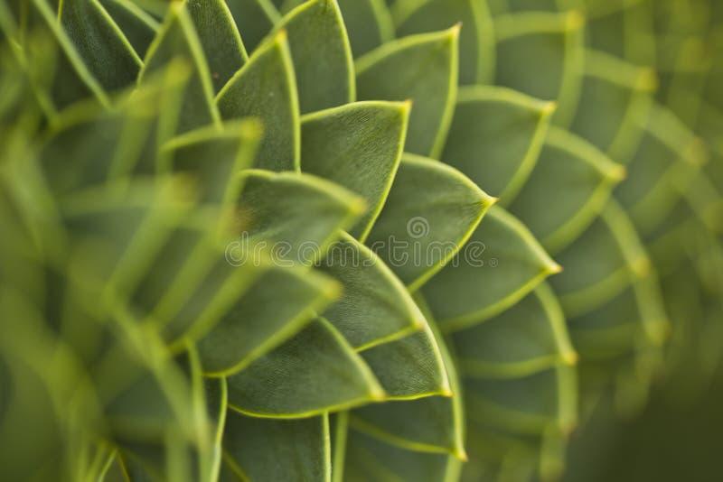 Araucaria arkivfoto