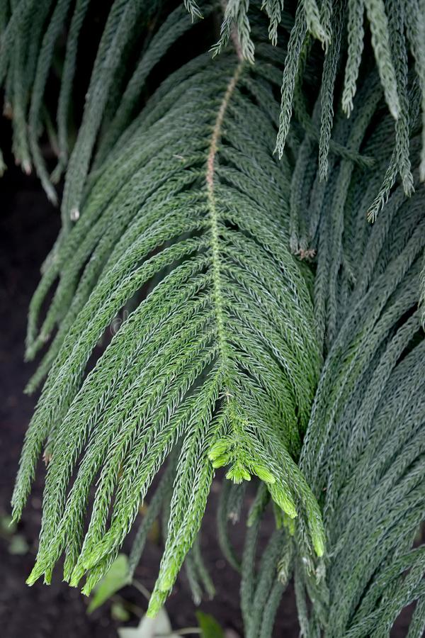 Araucaria alternate-leaved Araucaria heterophylla Salisb. Franco. Branches with young green needles royalty free stock photography