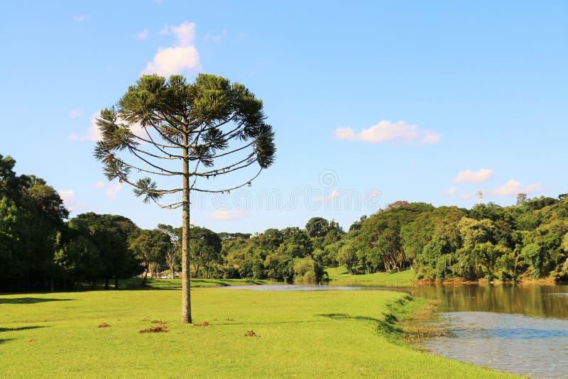 Araucaria Angustifolia (Braziliaanse pijnboom) royalty-vrije stock fotografie