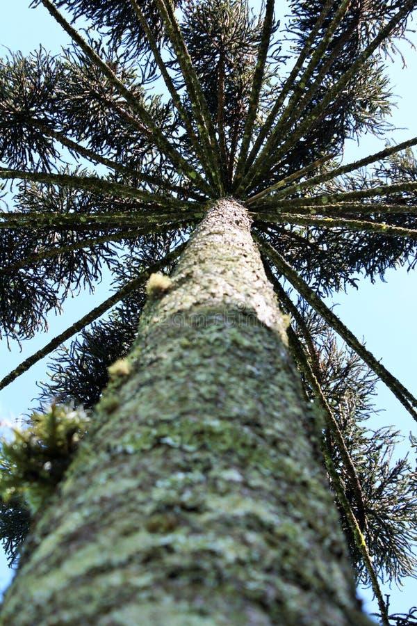 Araucaria Angustifolia (pino brasileño) imágenes de archivo libres de regalías