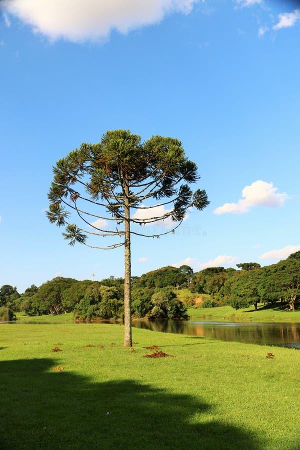 Araucaria Angustifolia (pino brasileño) imagenes de archivo