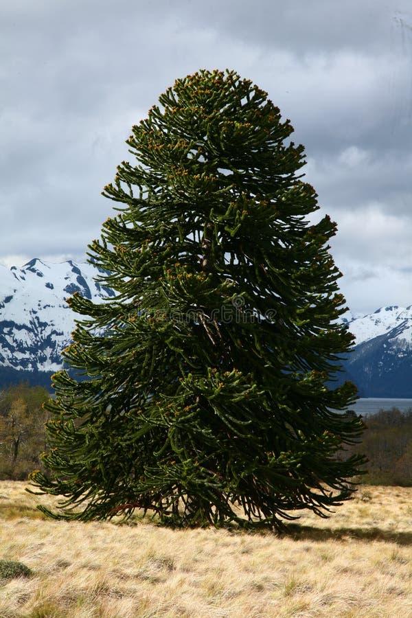 Araucaria araucana (Pehuen or Monkey-puzzle) tree royalty free stock photography