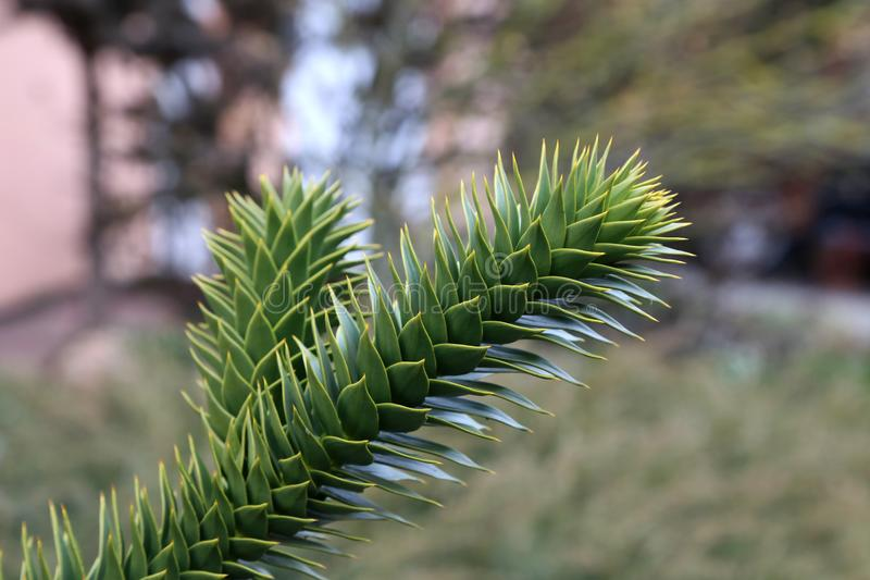 Download Araucaria araucaria stock image. Image of nature, green - 113513061