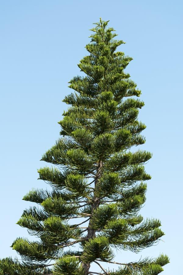 Araucaria boom, Chileense pijnboomboom op de achtergrond van blauwe hemel, naaldbomen royalty-vrije stock foto