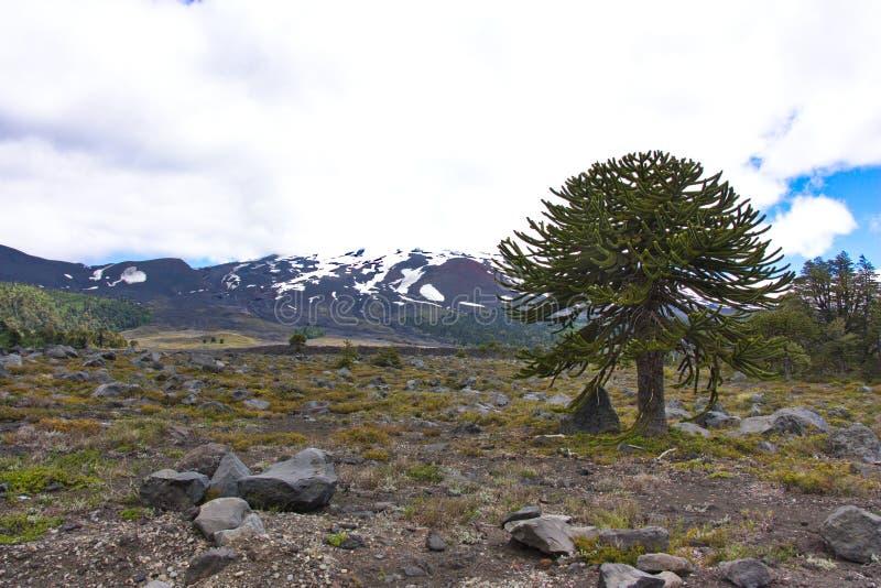 Araucaria en el parque nacional de ConguillÃo en Chile foto de archivo libre de regalías
