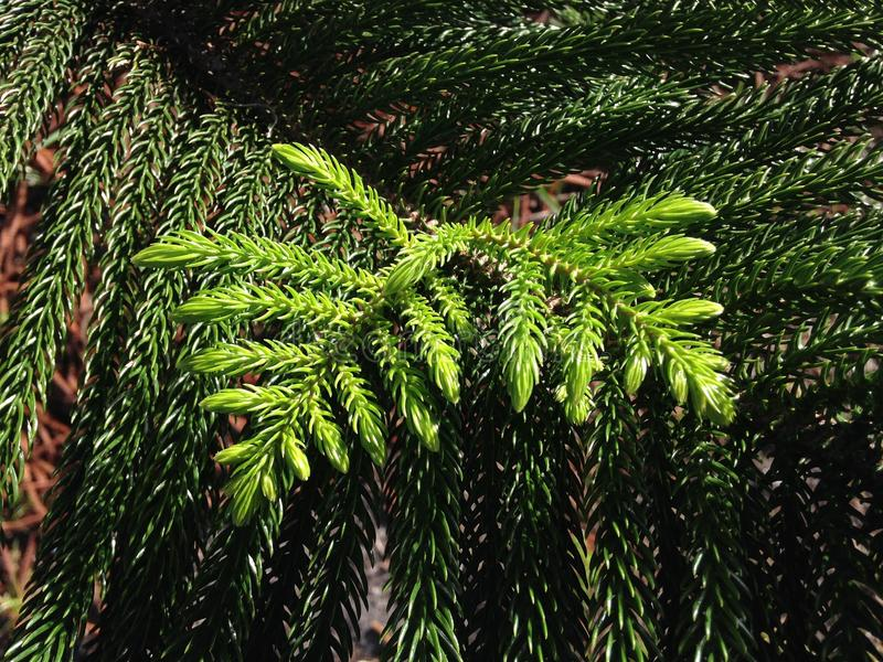 Araucaria Heterophylla, Norfolk Island Pine, Star Pine, Triangle Tree, or Living Christmas Tree Growing in Florida. stock images