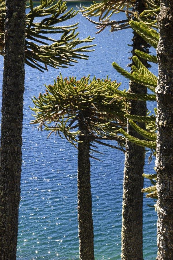 Araucaria tree stock images