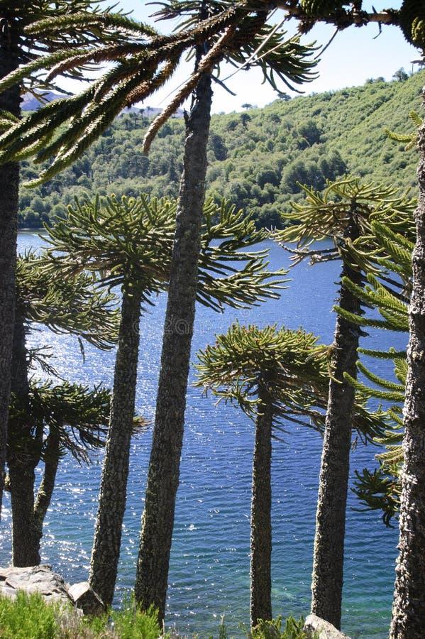 Araucaria tree stock photography