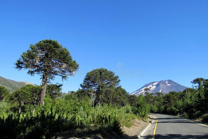 Araucaria trees near the road royalty free stock photos