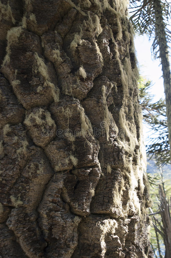 Araucaria Trunk Of The Royalty Free Stock Photo