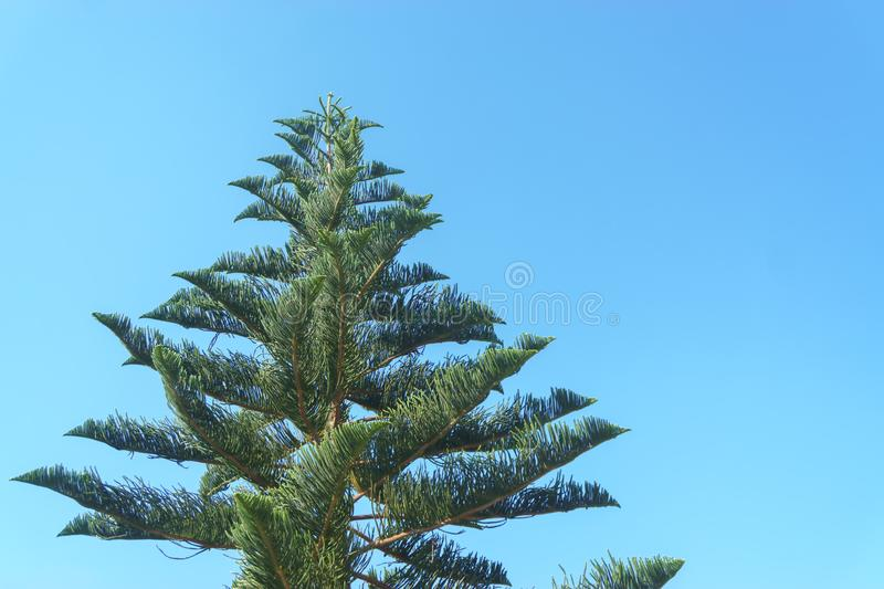 Araucaria variegated branches. Araucaria is diverse against the sky royalty free stock image