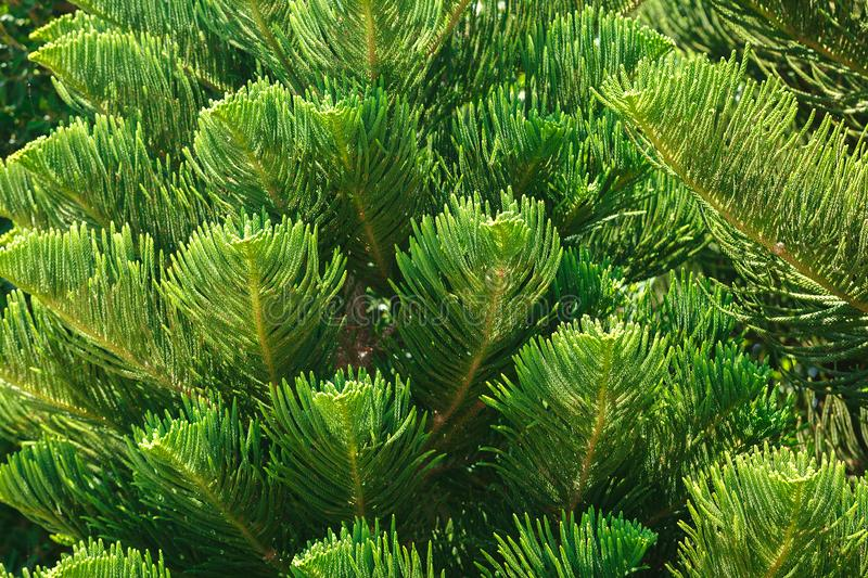 Araucaria variegated branches. Araucaria heterophilic branch closeup. Green tree branches stock images