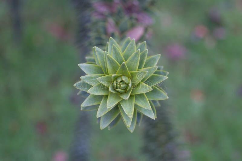 Araucariaaraucanafilial med gröna sjöar Makrofoto av skarpa sidor arkivfoton