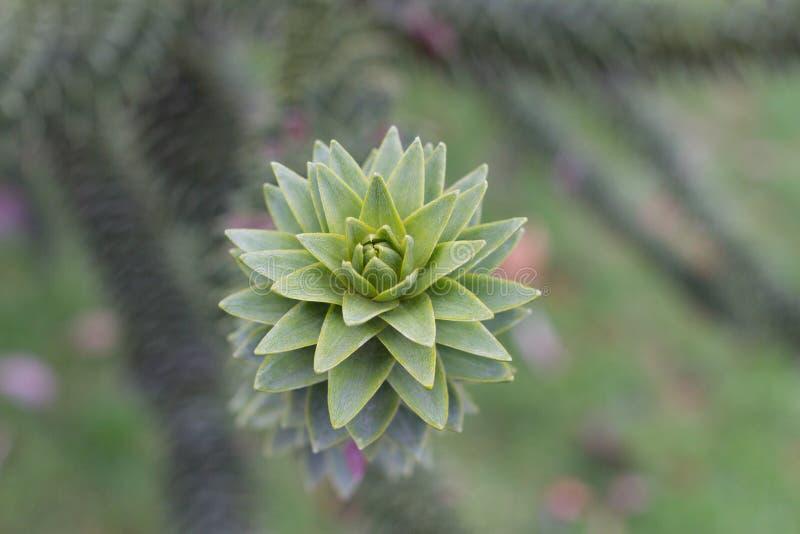 Araucariaaraucanafilial med gröna sjöar Makrofoto av skarpa sidor royaltyfri foto