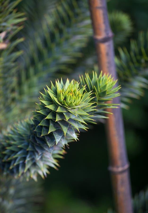 Araucariaaraucanaträdet kallade mestadels trädet för apapusslet, apasvansträd, har en bautiful form fotografering för bildbyråer