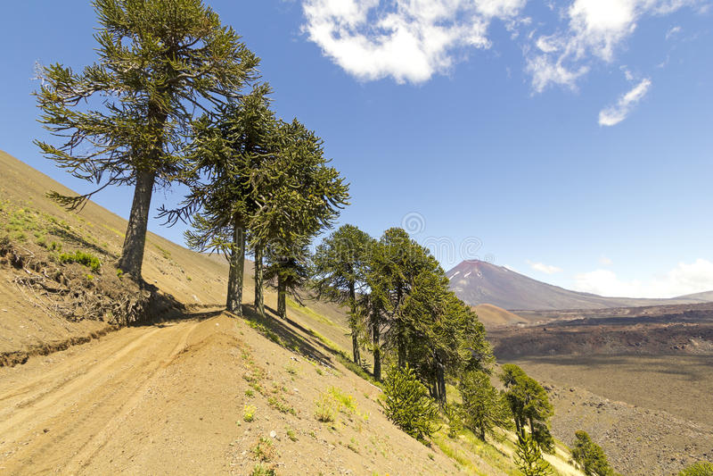 Araucarias在Malalcahuello公园,智利 库存图片
