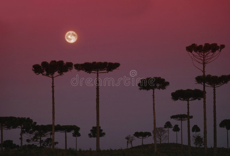 Download Araucarias stock image. Image of sunset, landscape, moon - 28501