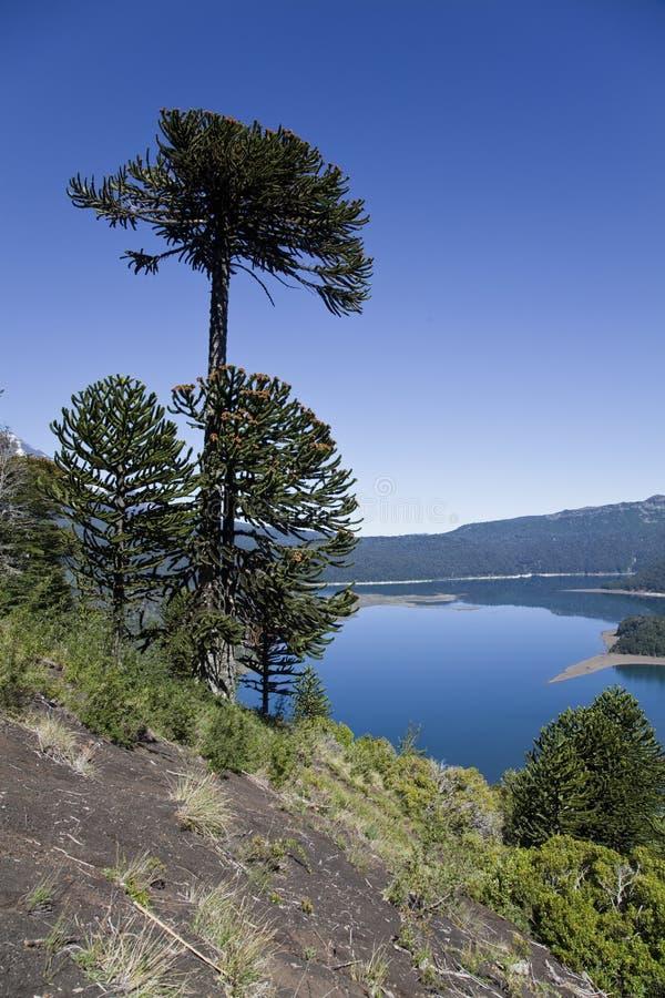 Araucarias al parco nazionale di Conguillio. immagini stock libere da diritti