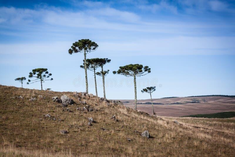 Araucarias des sud du Brésil photographie stock
