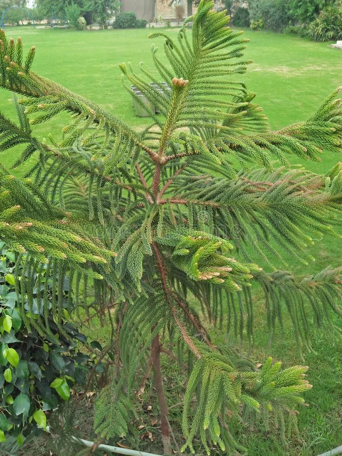 NORFOLK ISLAND PINE. ARAUKARIA HETEROPHYLA ,THE NORFOLK ISLAND PINE ,LIKES A COMFORTABLE INDOOR TEMPERATURE& x28;60_75& x29;DEGREE FARENHEIT ,WATER WHENEVER THE royalty free stock photos