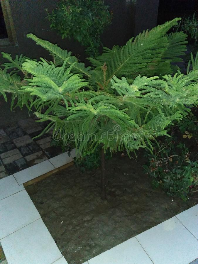 NORFOLK ISLAND PINE. ARAUKARIA HETEROPHYLLA ,THE NORFOLK ISLAND PINE ,LIKES A COMFORTABLE INDOOR TEMPERATURE,60_75,DEGREE FARENHEIT ,WATER WHENEVER THE SURFACE royalty free stock images