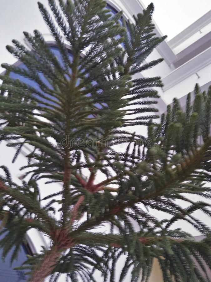NORFOLK ISLAND PINE. ARAUKARIA HETEROPHYLLA ,THE NORFOLK ISLAND PINE ,LIKES A COMFORTABLE INDOOR TEMPERATURE,60_75,DEGREE FARENHEIT ,WATER WHENEVER THE SURFACE stock photo