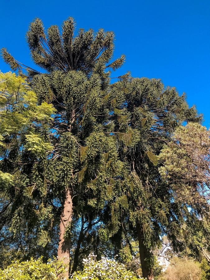 Araukarie unter anderen Bäumen stockbilder