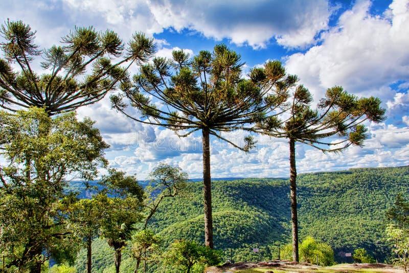 Araukarii drzewo obraz royalty free