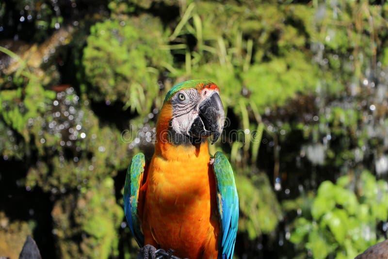 Aravogel op het droge hout met aardachtergrond die wordt neergestreken royalty-vrije stock foto's