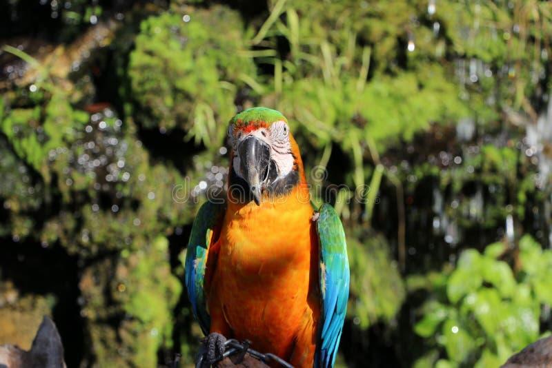 Aravogel op het droge hout met aardachtergrond die wordt neergestreken royalty-vrije stock foto