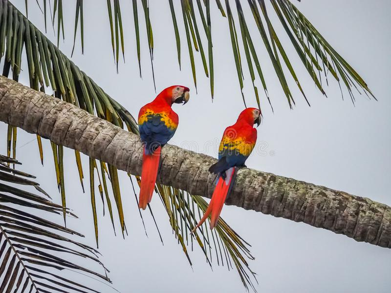 2 aravogels op een palm Drake Bay Views rond Costa Rica royalty-vrije stock afbeelding