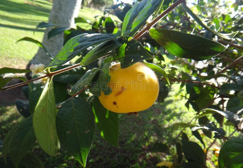 Araza - fruto fotografia de stock royalty free