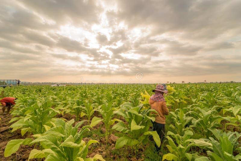 Arbeid die in tabakslandbouwgrond werken stock afbeelding