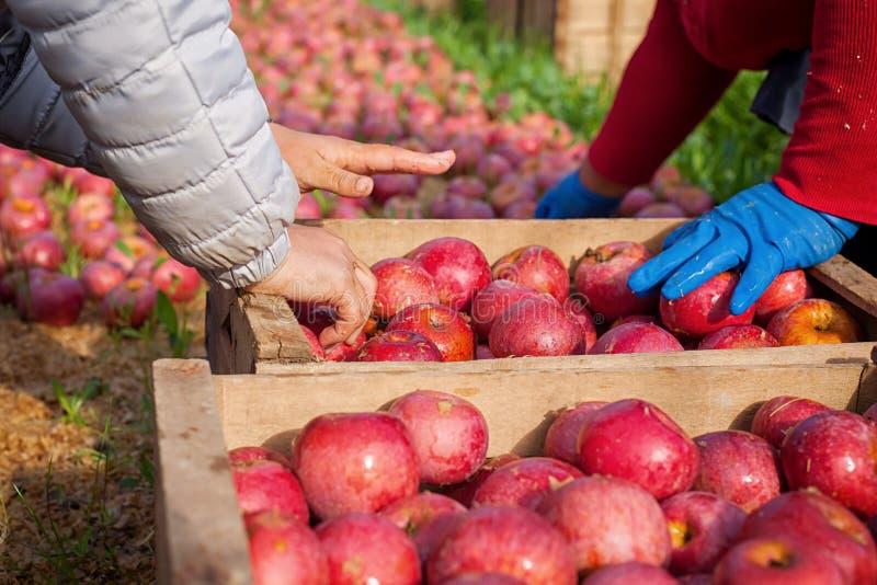 Arbeider die Italiaanse typische appelen plukken stock afbeeldingen