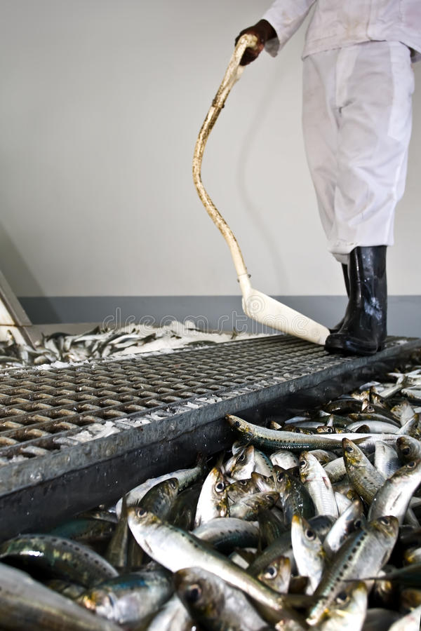 Arbeider die vissenselectie bekijkt stock foto's