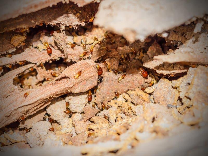 Arbeider en nasute termieten bij het ontbinden van hout royalty-vrije stock afbeelding