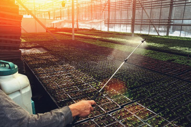 Arbeider het water geven het zaaien in organisch hydroponic het kinderdagverblijflandbouwbedrijf van de sierplantencultuur Grote  royalty-vrije stock fotografie