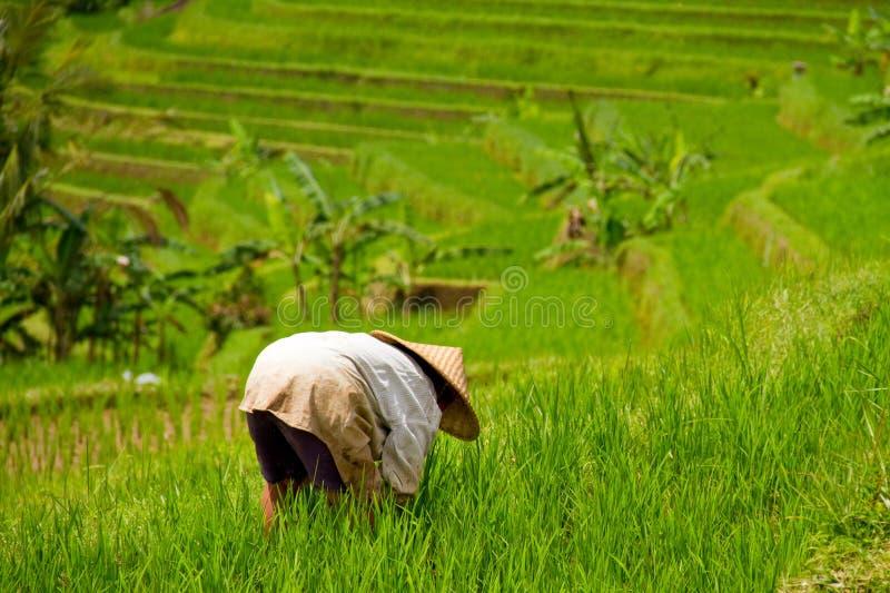 Arbeider in padieveld van Jatiluwih, Bali stock foto's