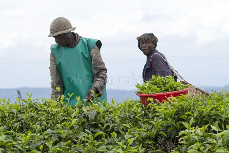 Arbeiders bij een theeaanplanting stock afbeeldingen