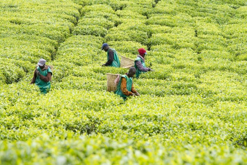 Arbeiders bij een theeaanplanting stock afbeelding