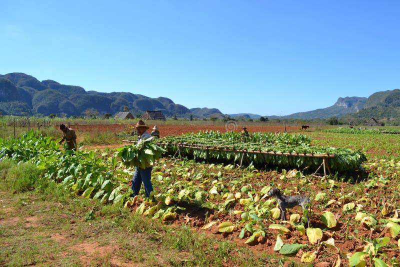 Arbeiders bij tabaksaanplanting stock fotografie