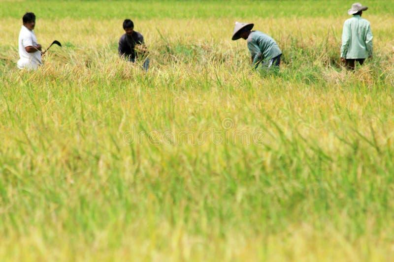 Arbeiders die padie oogsten bij padieveld stock foto's