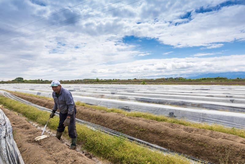 arbeiders in het landbouwbedrijf tijdens het oogsten witte asperge royalty-vrije stock foto's